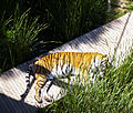 Bengal Tiger at the National Zoo & Aquarium 1.jpg