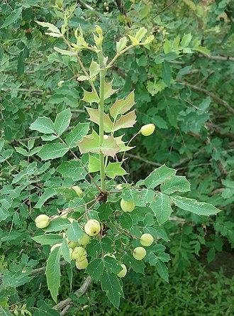 Berberidaceae - Image: Berberidaceae Mahonia Swaseyi