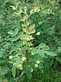 Berberidaceae Mahonia Swaseyi.jpg