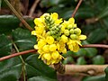Berberis aquifolium 116304433.jpg