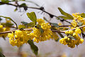 Berberis julianae fleurs.jpg