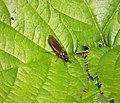 Beris vallata female. Soldierfly (39684632651).jpg