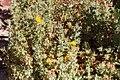 Berkheya spinosissima-1903 - Flickr - Ragnhild & Neil Crawford.jpg
