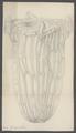 Beroe gargantua - - Print - Iconographia Zoologica - Special Collections University of Amsterdam - UBAINV0274 110 04 0016A.tif