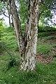 Betula ermanii kz01.jpg