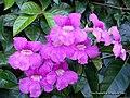 Bignonia corymbosa 3.jpg
