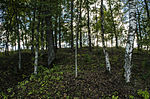 Birch trees on the ancient graves.JPG