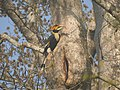 Bird Great Hornbill Buceros bicornis at nest DSCN9018 06.jpg