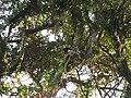 Bird Wreathed hornbill Rhyticeros undulatus IMG 7837 04.jpg