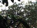 Bird Wreathed hornbill Rhyticeros undulatus IMG 7837 05.jpg