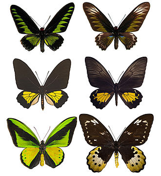 Birdwing - Male (left) and female (right) representatives of Trogonoptera (top), Troides (middle), and Ornithoptera (bottom)