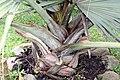 Bismarckia nobilis 27zz.jpg