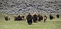 Bison on the move, Lamar Valley (8bca3765-4314-4c67-a237-191f485698d9).jpg