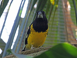 Black-backed Grosbeak RWD3.jpg