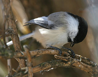 Black-capped chickadee - Chickadees will take food such as seeds from feeders and trays over to a tree branch to hammer them open.