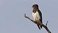 Black-chested snake eagle (Circaetus pectoralis) at Pilanesberg National Park, South Africa. (43117888870).jpg