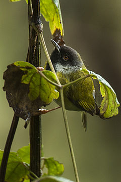 Black-faced Apalis - Uganda H8O3181 (17327701012).jpg
