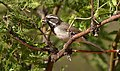 Black-throatedSparrow-1MAY2017.jpg