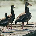 Black Bellied Whistling Ducks (5005681812).jpg