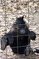Black Crested Mangabey.jpg
