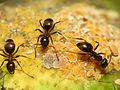 Black Garden Ant tending Citrus Mealybug (15878134959).jpg