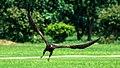 Black Kite Milvus Migrans (106307325).jpeg