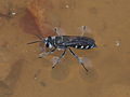 Black and white Pison wasp.jpg