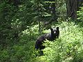Black bear (7204156818).jpg