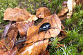 Black ground beetle (6339984768).jpg