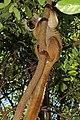 Black lemur (Eulemur macaco) female.jpg