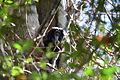 Black lion tamarin Pontal do Paranapanema 12.JPG