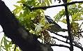 Blackpoll Warbler (33494142393).jpg