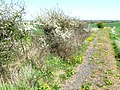 Blackthorn in bloom - geograph.org.uk - 167095.jpg