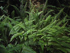 Blechnum spicant (fertile and sterile fronts).jpg