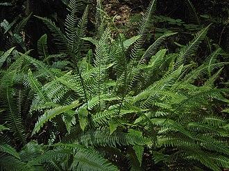 Blechnum spicant - Image: Blechnum spicant (fertile and sterile fronts)