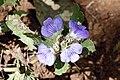 Blepharis natalensis (Acanthaceae) (26954819500).jpg