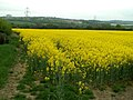 Blooming Yellow - geograph.org.uk - 410273.jpg