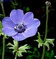 Blue-Anemone coronaria.jpg