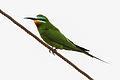 Blue-cheeked Bee-eater (Merops persicus) (8079414682).jpg