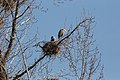 Blue Heron Nest - panoramio.jpg