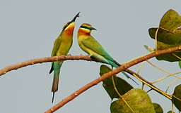 Blue tailed bee eater - Merops philippinus couples - Mavoor.jpg