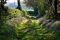 Bluebell covered track near Kings Newnham - geograph.org.uk - 289156.jpg