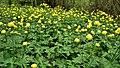 Blumen Trollius europaeus.jpg