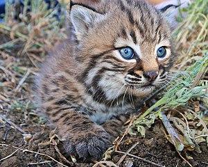 Santa Monica Mountains - Bobcat kitten 327,  SMMNRA