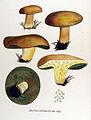 Boletus variegatus — Flora Batava — Volume v17.jpg