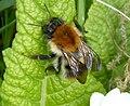 Bombus pascuorum. Queen, Common Carder Bee (33197330343).jpg