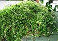 Bonamia menziesii (5210020612).jpg