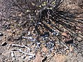 Bones beneath a desert bush - panoramio.jpg