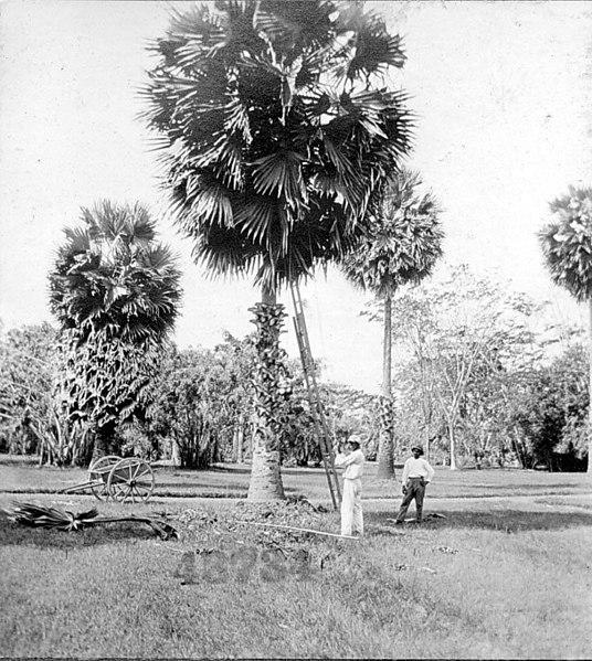 File:Borassus flabellifer trees (4290350035).jpg