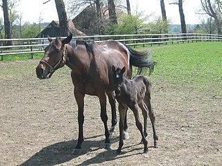 Borgia (horse) German-bred Thoroughbred racehorse